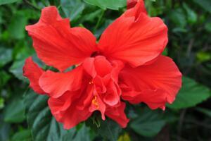 世界上花期最长的花,扶桑花日日樱一次开花看一年