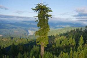 世界上最高的树,澳洲杏仁桉树(高156米/基座直径30米)