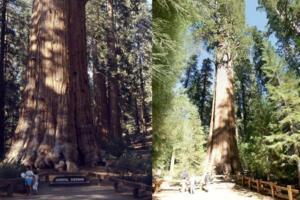 世界上最大的树,雪曼将军树(高83.8米/直径11.1米)