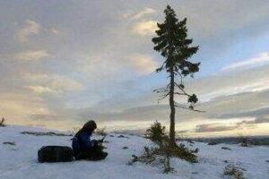 世界上最古老的树,挪威云杉Old Tjikko(活了9500多年)