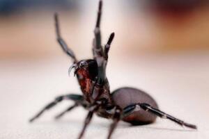 世界上最毒的蜘蛛,澳洲漏斗形蜘蛛(被咬15分钟毙命)