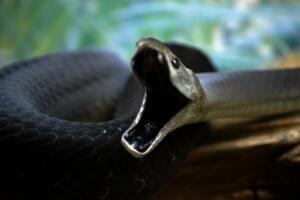 世界上移速最快的毒蛇,黑曼巴蛇一秒6米(一口毒可杀20人)