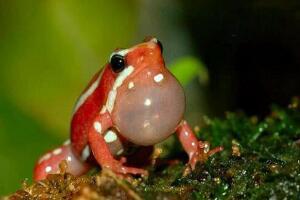 蛙类毒王幽灵箭毒蛙,一身毒液可杀10个成年人(无解药)