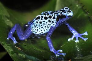 钴蓝箭毒蛙,吃多毒就有多毒(一克蛙毒可毒死1.5万人)