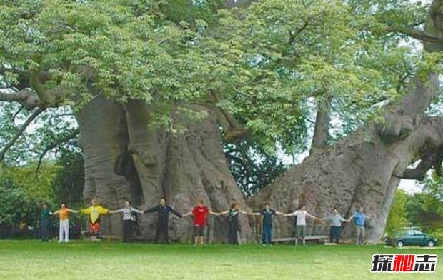 世界最粗的树图片_世界上最粗的树有多粗,百骑大栗树(直径18米/树围55米)_探秘志