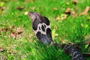 舟山眼镜蛇既中华眼镜蛇,体长2米能喷毒(即将灭绝)