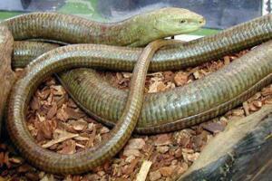 阿西娜玻璃蛇是无腿蜥蜴,全身透明一碰就断(视频图片)