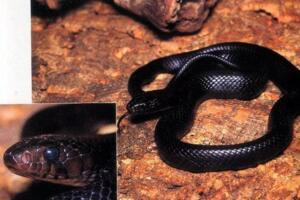 美国最大的蛇类,北美蛇王森林王蛇长2.8米(附吃蟒蛇视频)