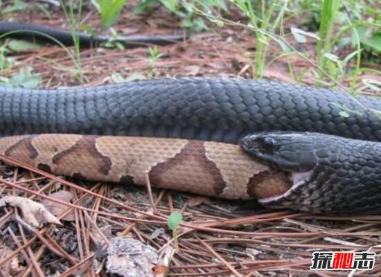 森林王蛇_美国最大的蛇类,北美蛇王森林王蛇长2.8米(附吃蟒蛇视频)_探秘志