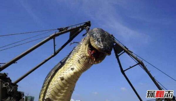 世界上最凶猛的蛇,红海巨蛇杀320游客125潜水员(杜撰)