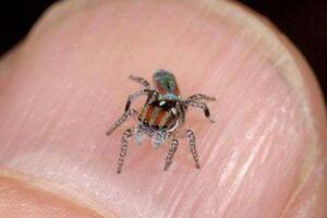 世界上最小的蜘蛛,施展蜘蛛仅长0.43毫米(小于句号)