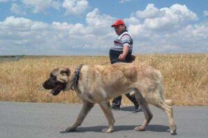 世界第一巨犬,土耳其坎高犬(站立超2米/土耳其国宝)