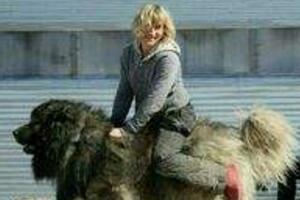 世界上最大的狗排名,土耳其坎高犬堪比小马能骑乘