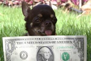 世界上最小的狗排名,吉娃娃米莉仅高6.53cm(最袖珍狗)