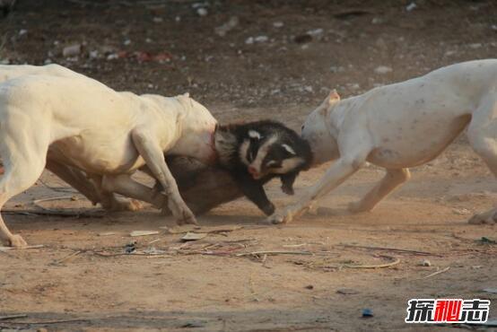 三,阿根廷杜高犬:猎犬之王