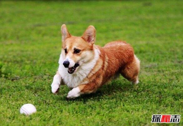 世界上最可爱的狗排名,世界十大最萌的狗排行榜(图片)