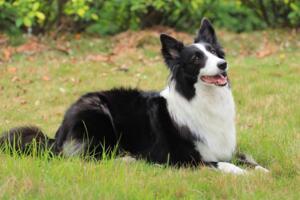 世界十大最聪明的狗排名,边境牧羊犬智商相当8岁小孩