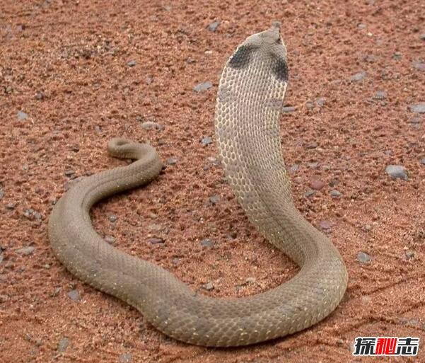 世界上最会装死的蛇,猪鼻蛇为装死撒尿喷屎(不敢咬人)