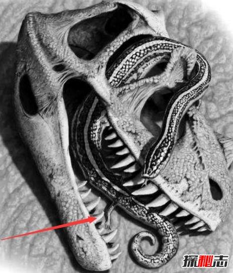 真足蛇是蛇的祖先,是蛇類曾經有腳的證明(圖片)
