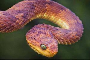 香蛇能散发香味驱虫防蚊,活香蛇被妇女当耳环图片