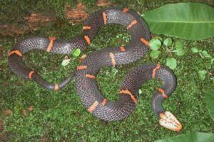 世界上最令人头疼的毒蛇,喜玛拉雅白头蛇咬人不放还绝食
