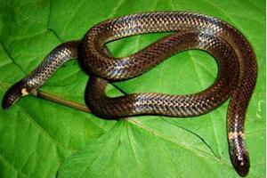 钝尾两头蛇为什么有两个头,头尾不分的怪异双头蛇