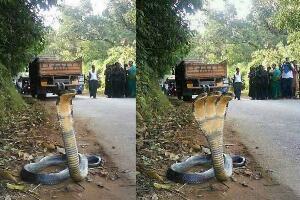 印度三头蛇是真的吗,网络图片太假都是PS的(不可信)
