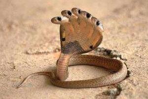 印度神庙惊现五头蛇是真的吗,五头蛇是PS造假(视频)