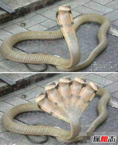 五头蛇_印度神庙惊现五头蛇是真的吗,五头蛇是ps造假(视频)