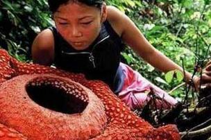 世界上最大的食人花,大王花(吃人图片触目惊心)