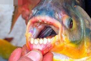 为什么人齿鱼咬裆部?因为水中缺少肉食(饿极了才咬睾丸)