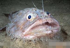 世界上最丑的鱼,鮟鱇鱼很丑但是很美味(内脏可壮阳)