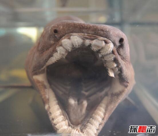 地球上最原始的鲨鱼,皱鳃鲨(3.8亿年前已存在)