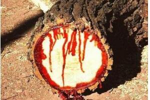 揭秘龙血树之谜,流血树为什么会流血原因(暗红色的树脂)