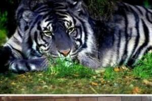 中国稀有虎类黑蓝虎之谜,蓝色的老虎(濒临灭绝/图片)