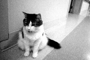 死神猫咪奥斯卡的精准预言,能提前预知人的死亡(照片)