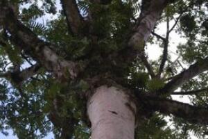 世界上最毒的树,箭毒木/见血封喉树(触之必死/剧毒图片)