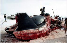 科学揭秘鲸鱼爆炸,炸死生物学家助理(气压过高引发爆炸)