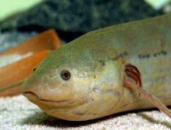 非洲杜兹肺鱼,没有水却存活了4年的不死鱼(非洲肺鱼)