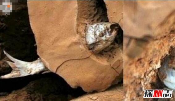 非洲杜兹肺鱼,一条忍着不死的鱼(不存在)