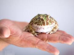 世界最萌宠物蛙,南美绿角蛙体型圆滚惹人爱(图片)