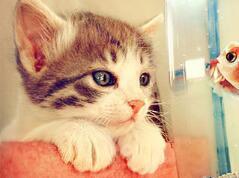 世界上最小的猫种,是新加坡猫不是茶杯猫(仅四个苹果重)