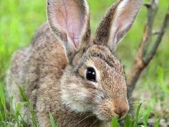 世界上最快的兔子,欧洲野兔极速能达到每秒20米