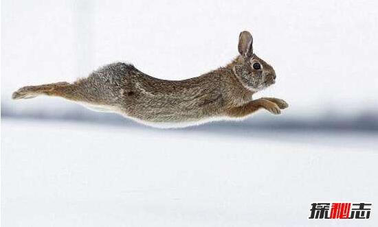 世界最快的兔子