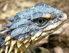 史上最像龙的动物,南非犰狳蜥内心蠢萌接近天价(视频)