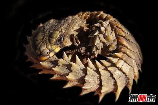 南非犰狳蜥