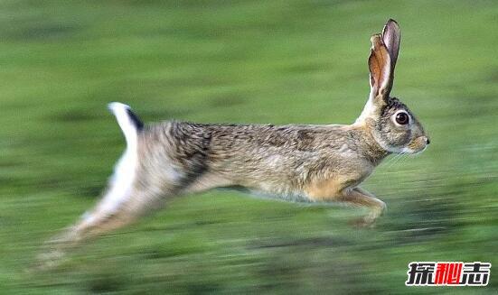 世界上最快的兔子