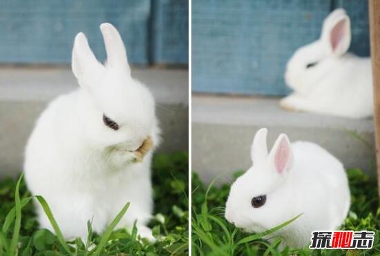 世界上最小的宠物兔