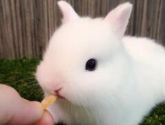 世界上最小的兔子,荷兰侏儒兔长大净重1.2千克(掌上萌宠)