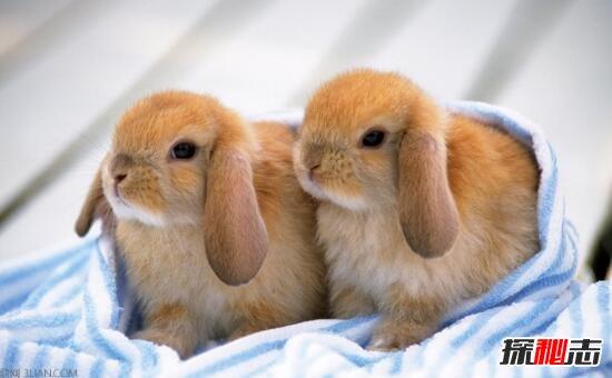 最适合小朋友饲养的宠物兔,荷兰垂耳兔(超萌超可爱)